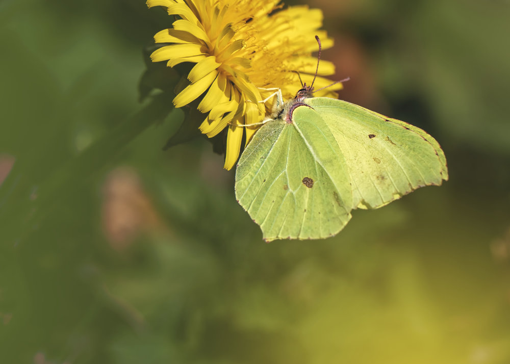Brimstone Butterfly 27th March.jpg