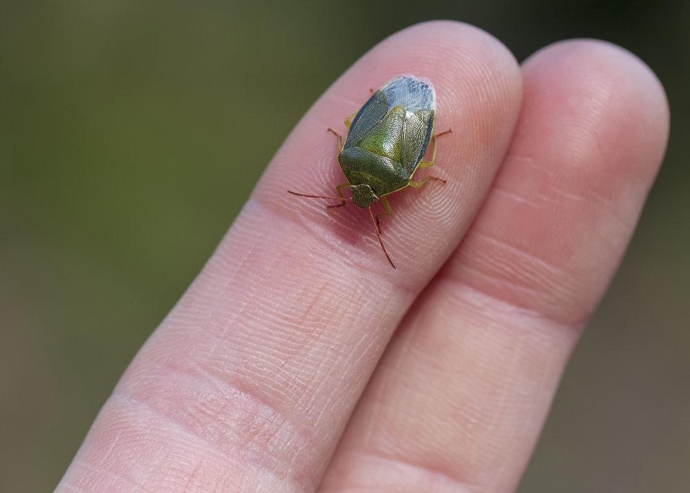 Gorse Shieldbug 27th March.jpg