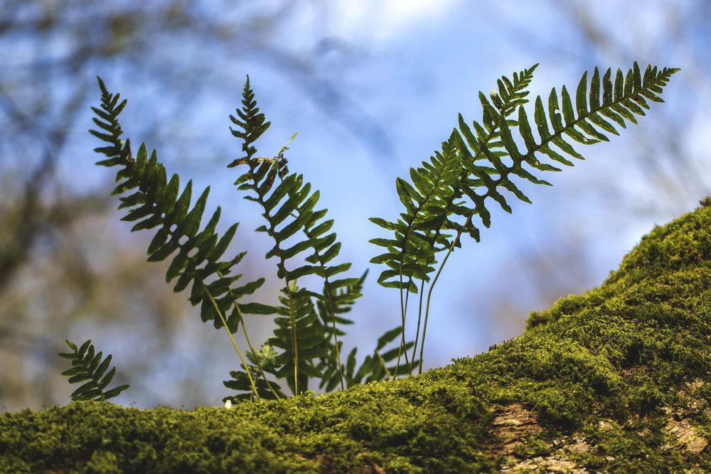 Tree Ferns 27th March.jpg