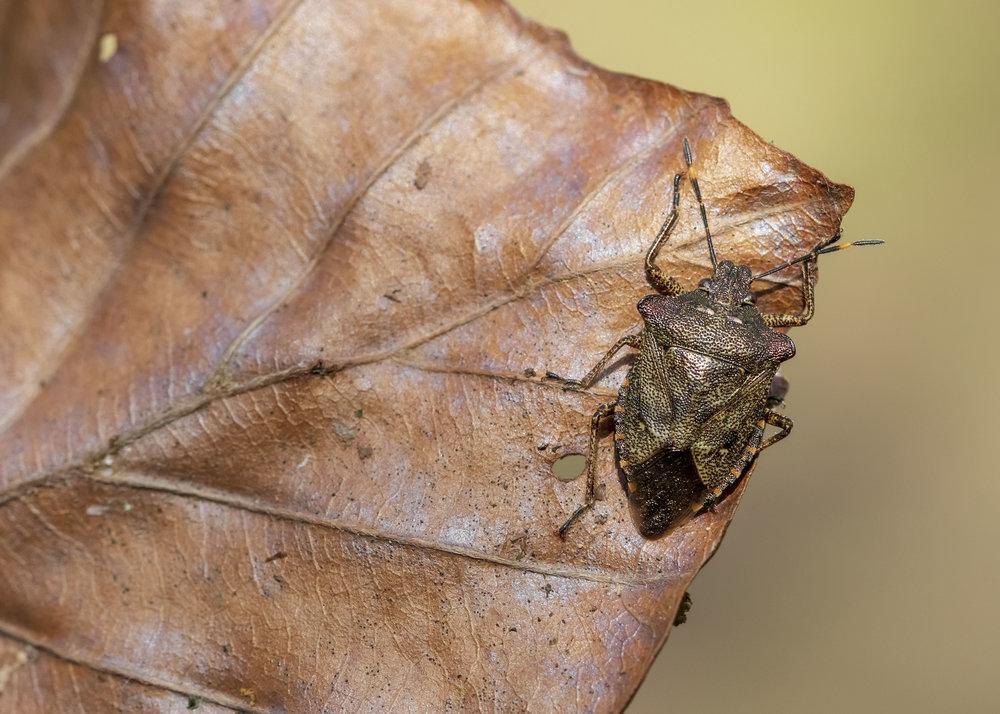 Bronse Shieldbug 27th March.jpg