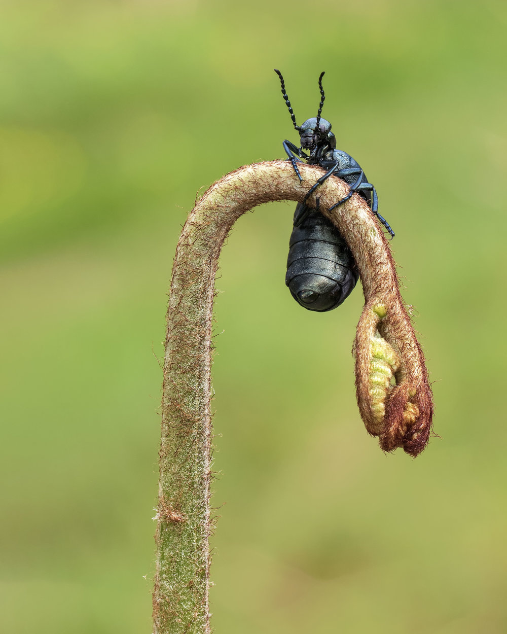 Violet Oil-Beetle Bracken 18th April.jpg