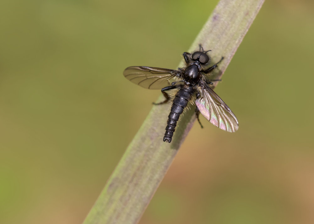 St Marks Fly Male 18th April.jpg