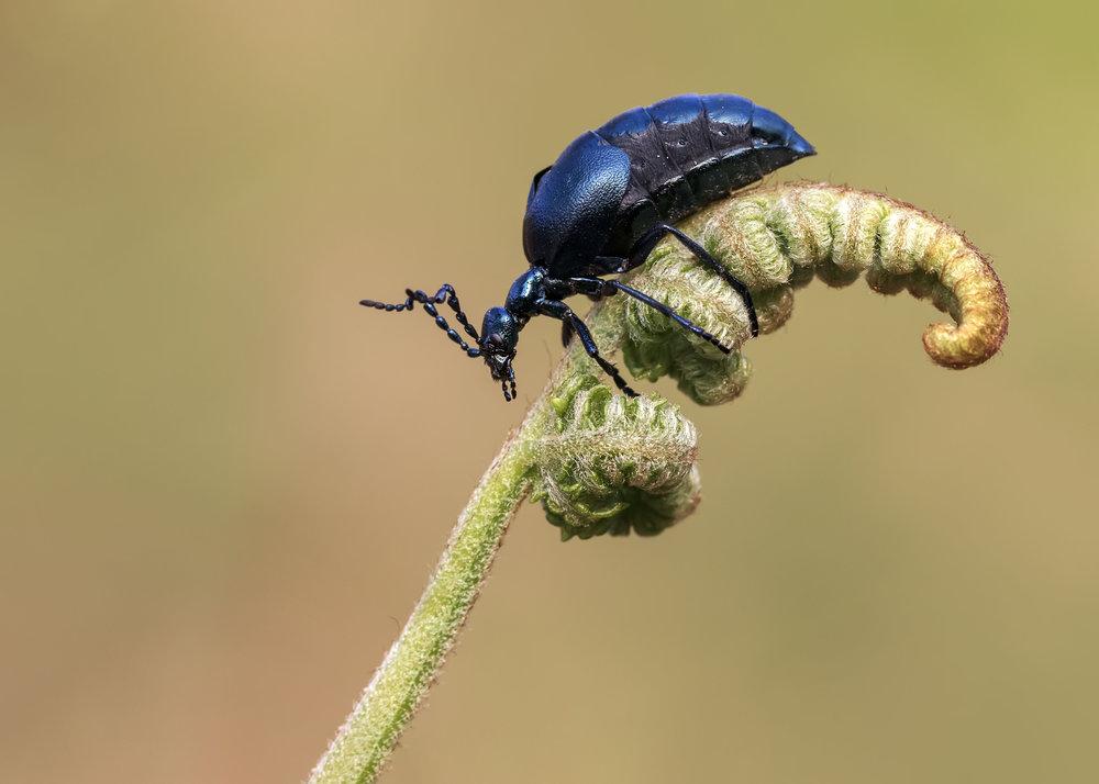 Voilet Oil Beetle Male Fern 17th April.jpg