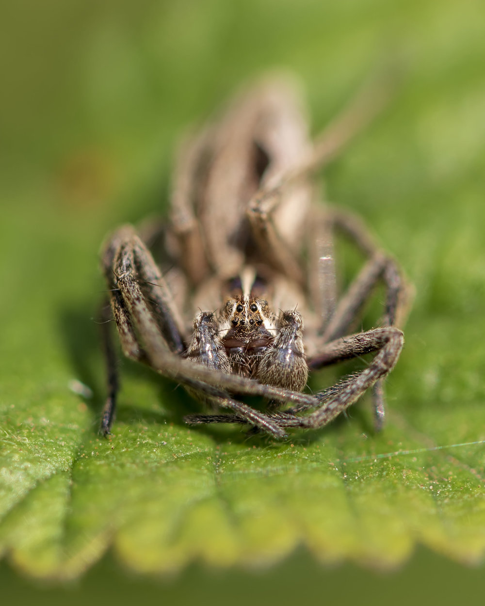 Nursery-web Spider 22nd April.jpg