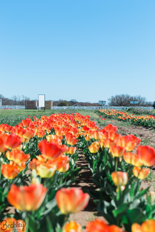 tulips-2.jpg