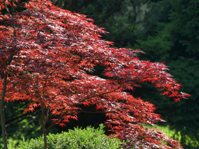 japanese-maple.s600x600