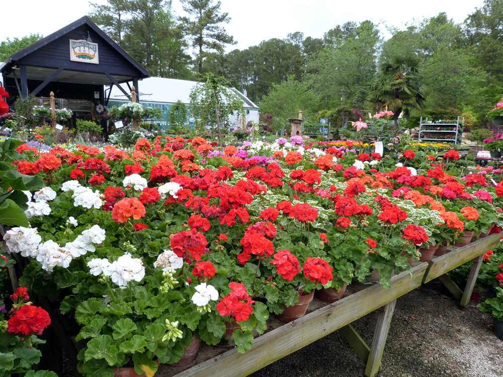 Lovely Geraniums Mixed Garden Supply Co