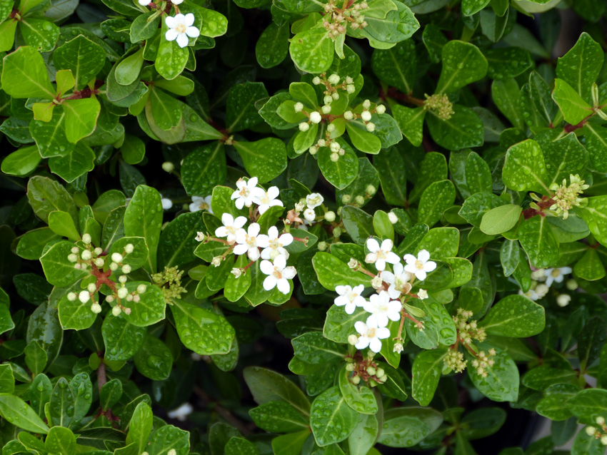 Mrs. Schiller's Delight Dwarf Viburnum-Garden Supply Co