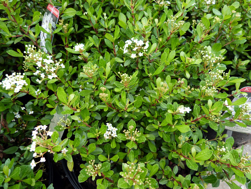 Mrs. Schilleru0027s Delight Viburnum Garden Supply Co