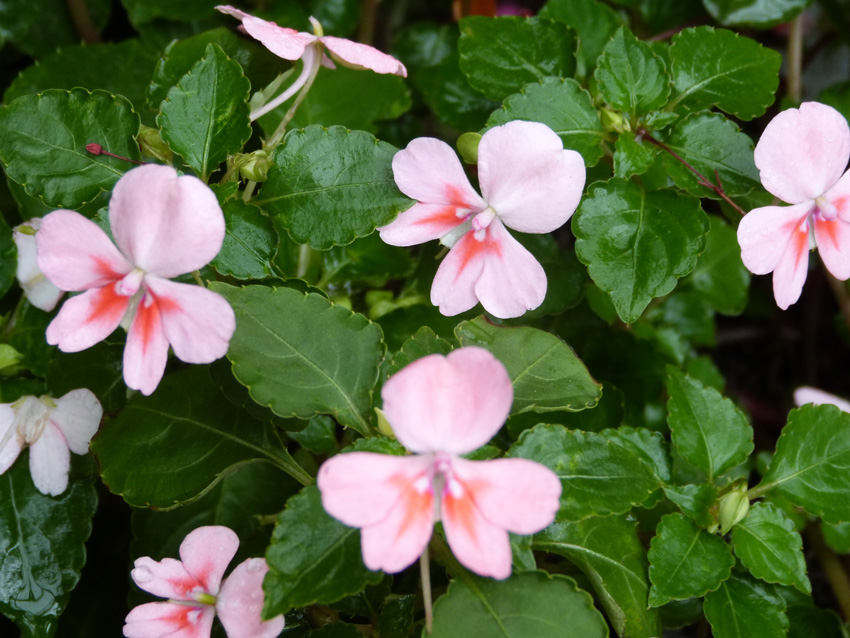 Fusion Series Impatiens3  Garden Supply Co