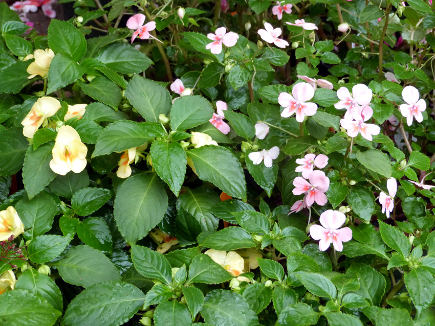Fusion Series Impatiens- Garden Supply Co