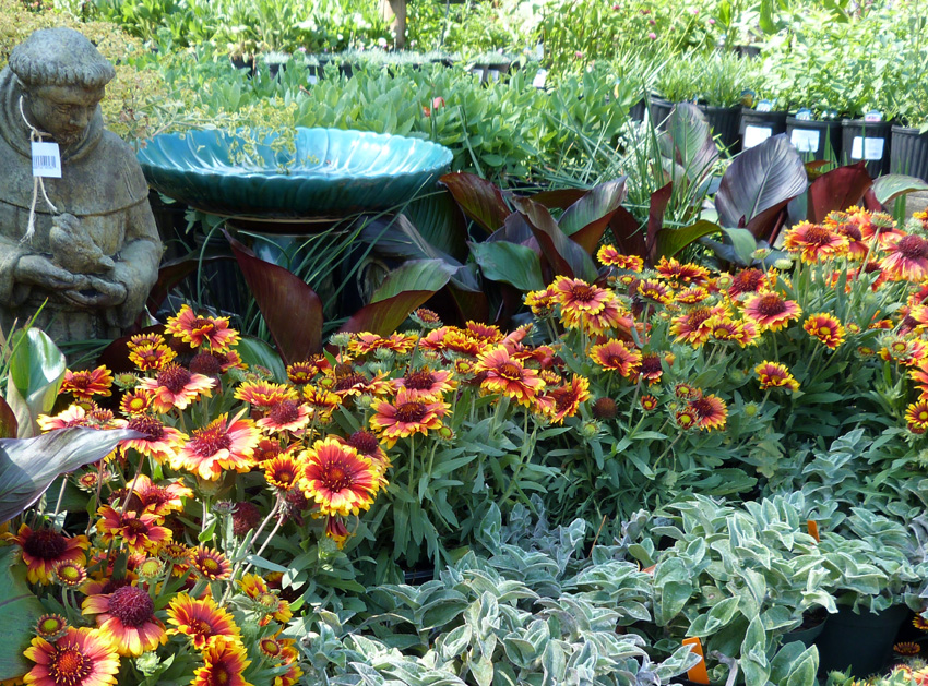 Gaillardia grandiflora 'Arizona Sun'- Garden Supply Co