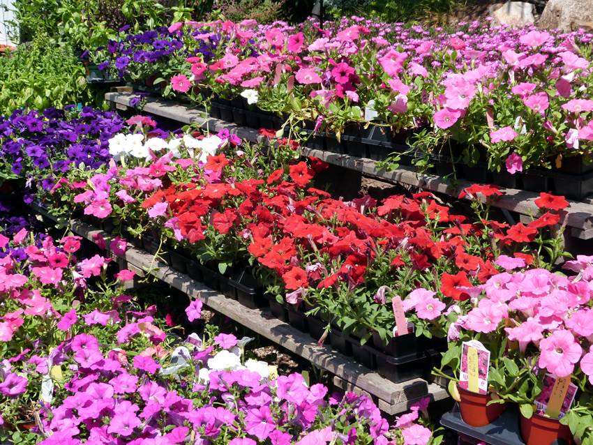Wave Petunias- Garden Supply Co