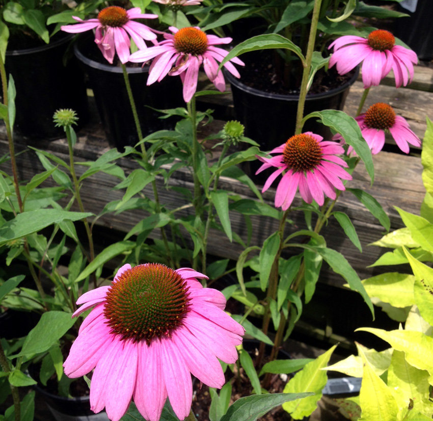 Echinacia  Prairie Splendor  Garden Supply Co