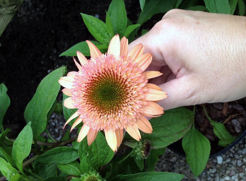 Echinacia  Raspberry Truffle  Garden Supply Co
