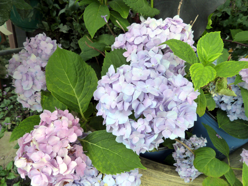 hydrangeas- Garden Supply Co
