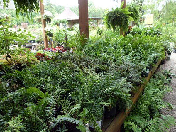 Ferns- Garden Supply Co