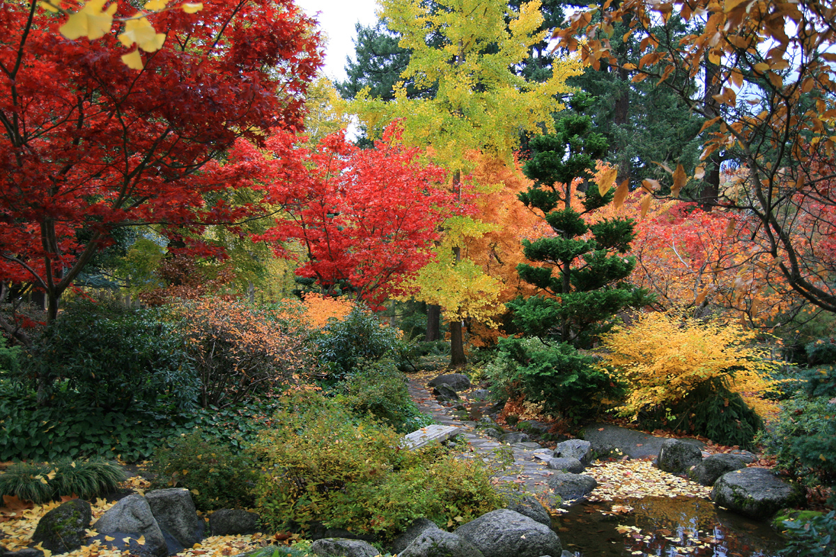 Surround your maples by the lush foliage of conifers typically found in a Japanese garden.