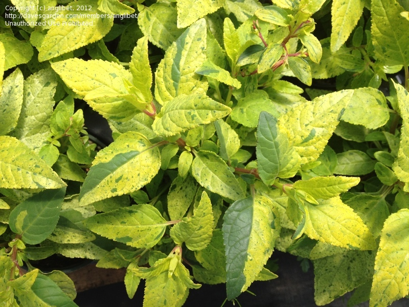 phygelius lemon spritzer