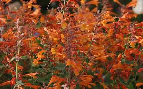 agastache orange nectar