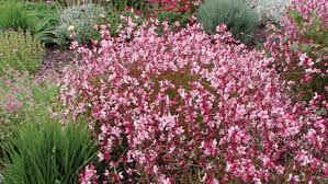 guara pink