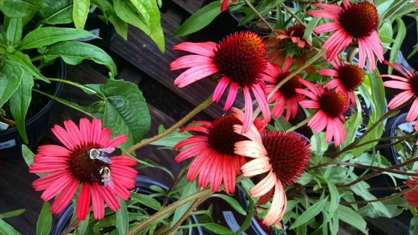 Bees_on_Coneflower