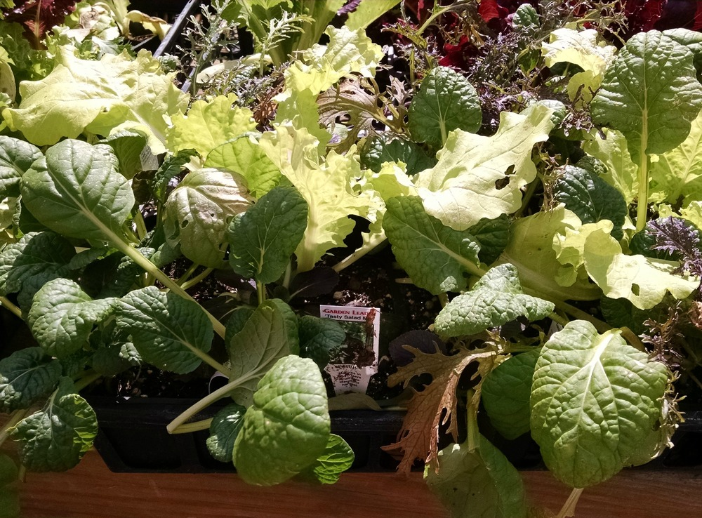 Salad greens to plant for fall harvest
