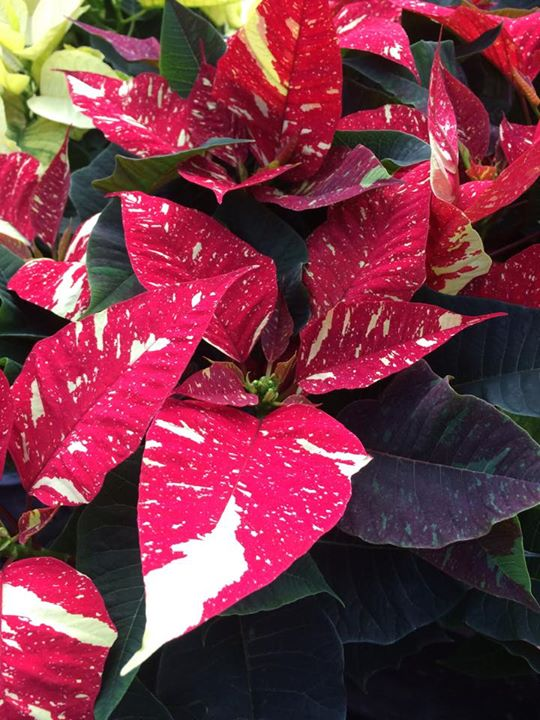 Speckled Poinsettia