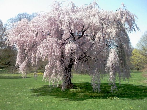 weeping-cherry-blossom-tree