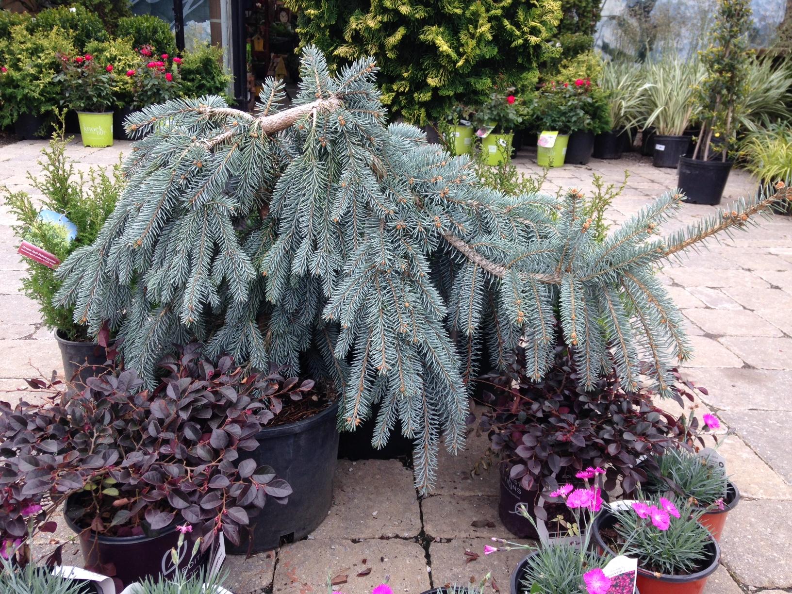 Slenderina Blue Spruce