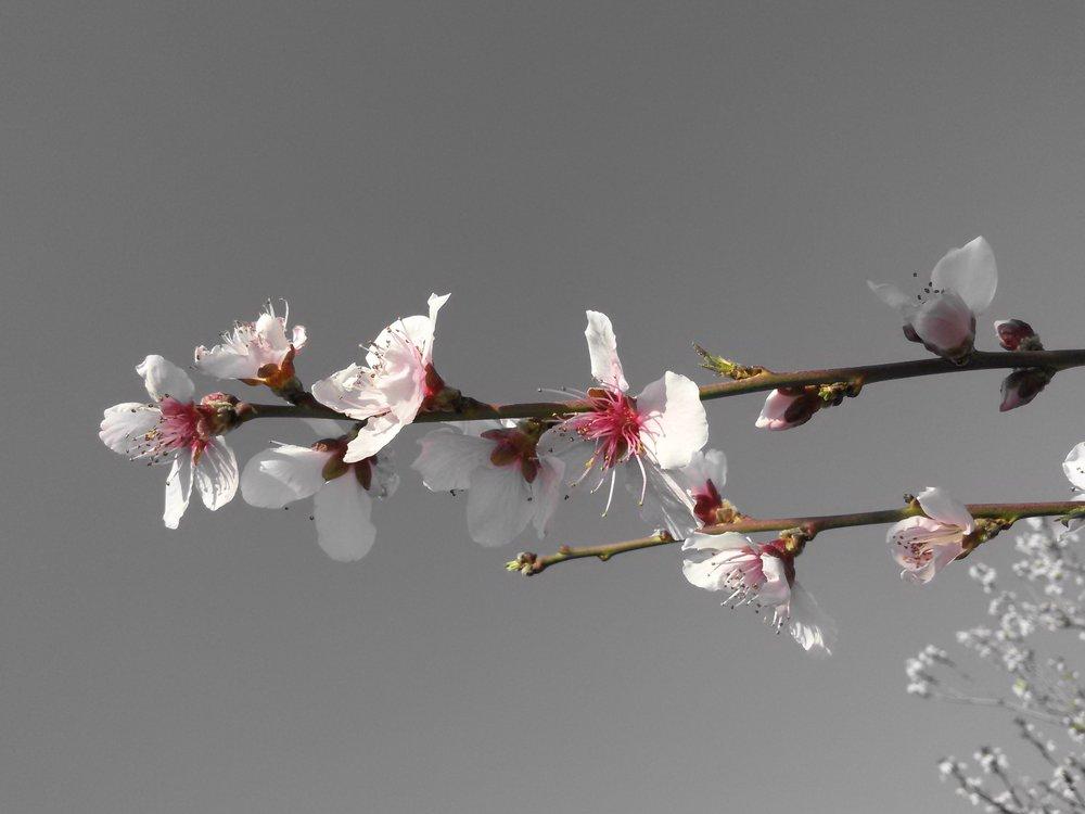 apricot-april-blooming-59318.jpg