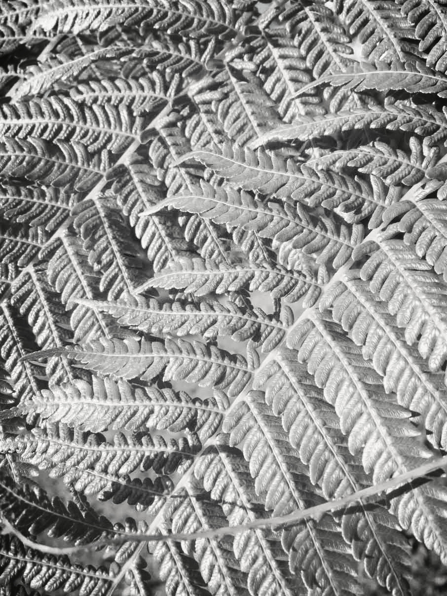 Fern-Leaves.jpg