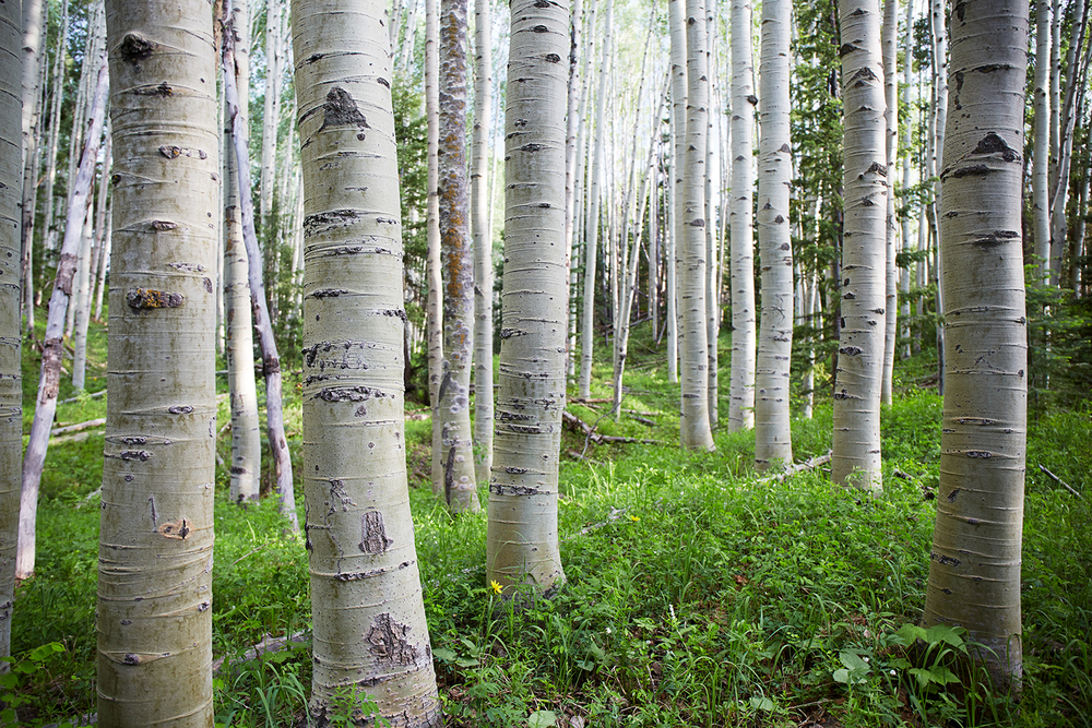 Colorado Aspen Grove
