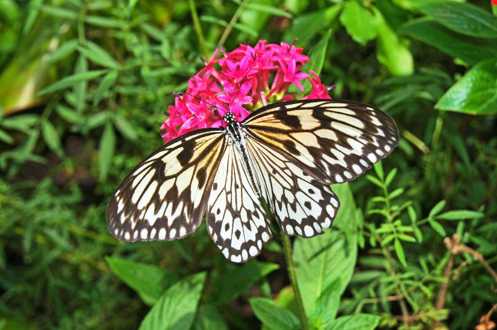 B.W.butterfly.1.JPG