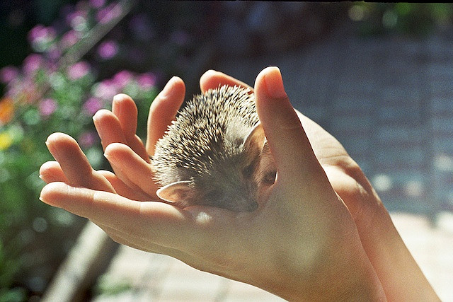 saddest-summer :      Sleepy Little Headgehog  (by  PosledniyPaketikChaya )