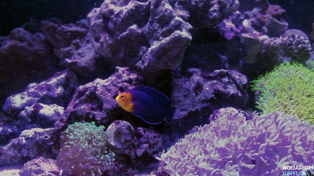 Pygmy Cherub Angelfish (Centropyge argi) over Octospawn and Xenia