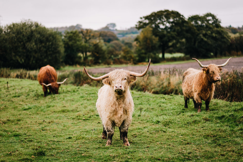 HIGHLAND COWS AT THE ASHES WEDDING VENUE