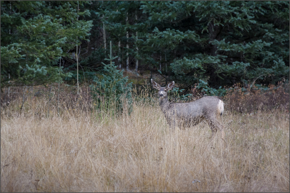 A Curious Mule Deer Doe