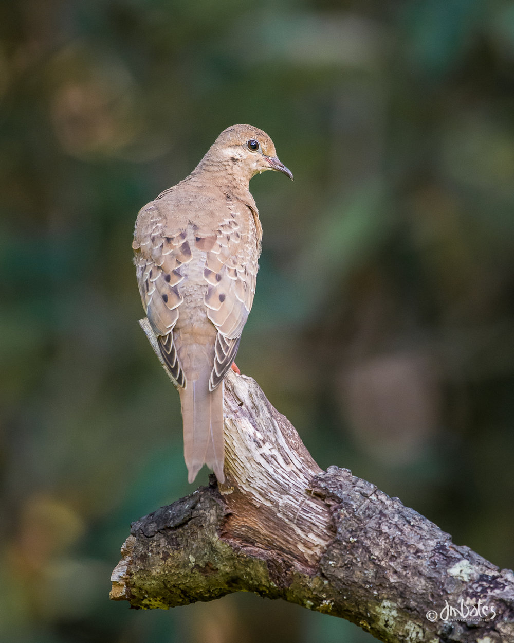 Mourning Dove, Immature