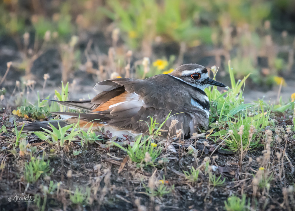 Killdeer Sheltering Chicks