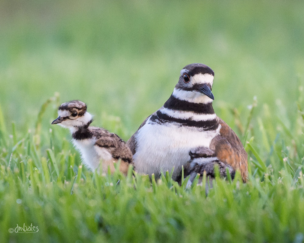 Killdeer and Chicks