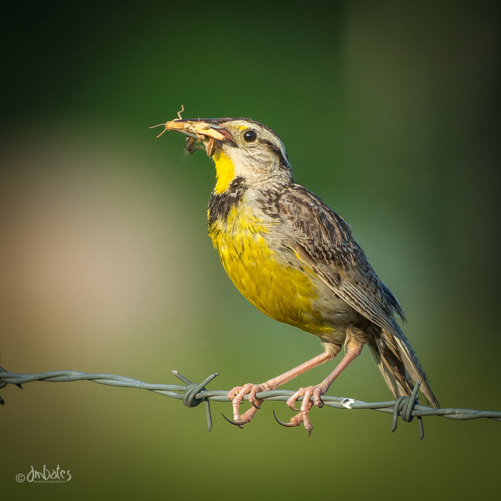 Eastern Meadowlark with Grasshopper