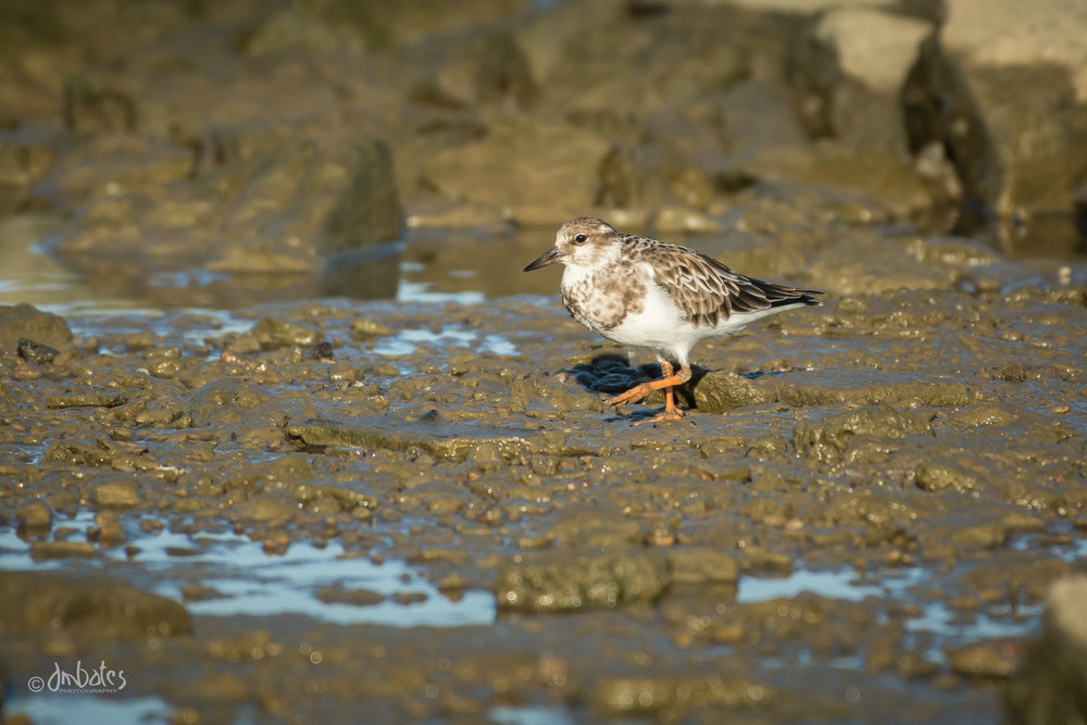 Ruddy Turnstone, October