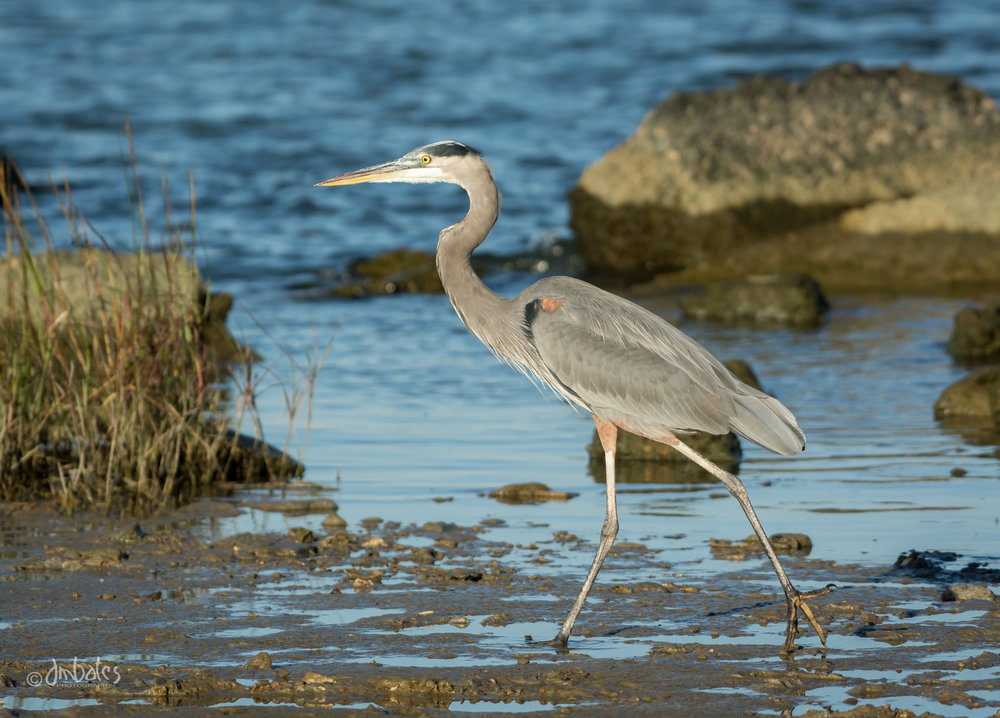 Great Blue Heron, October