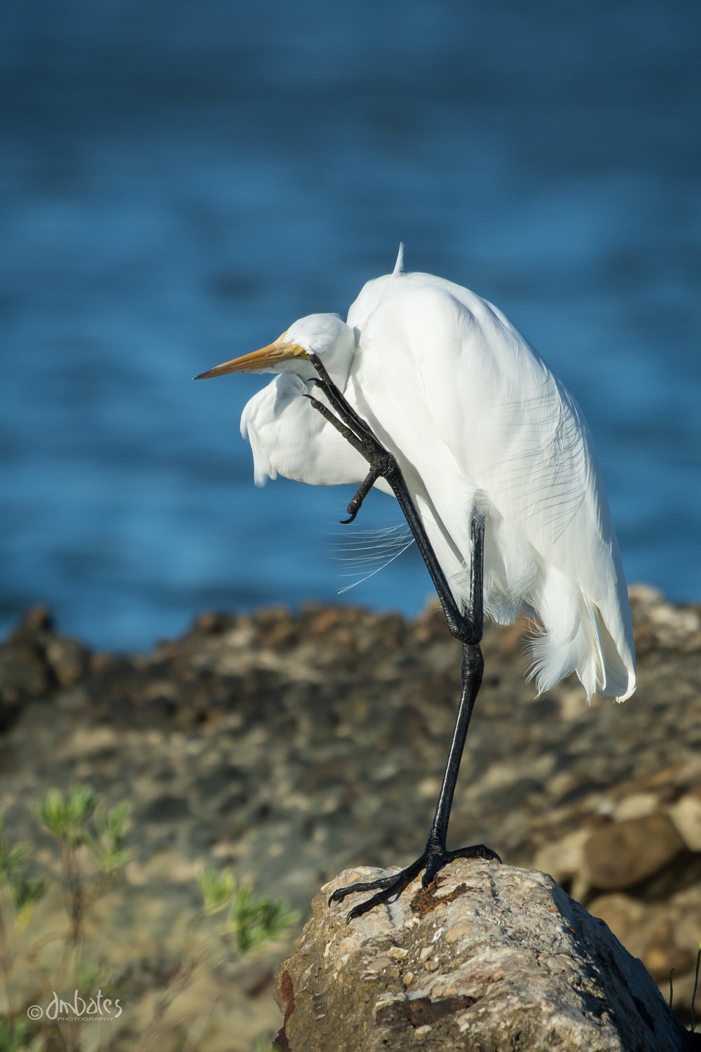 Great Egret, October