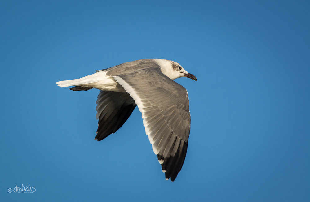 Laughing Gull, October
