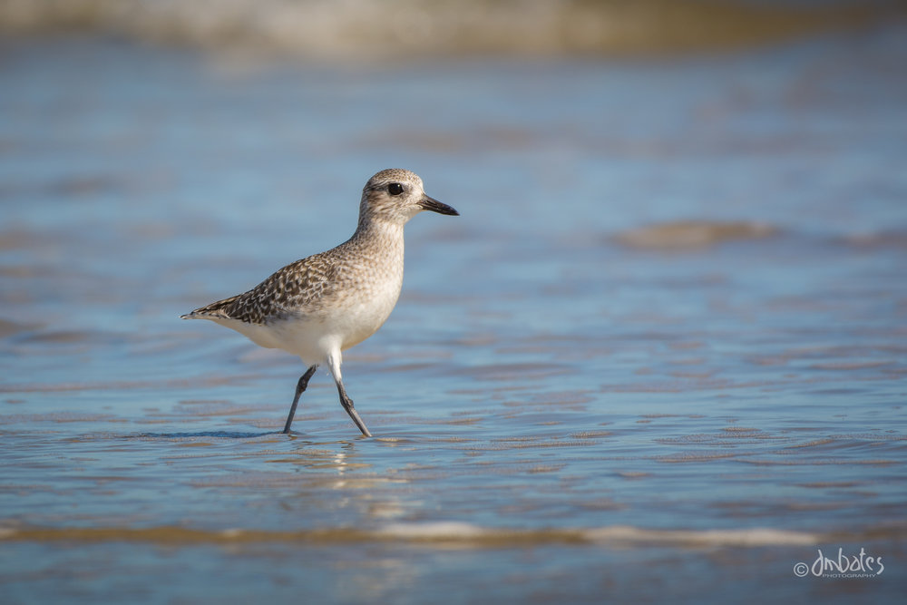 Black-bellied Plover, October