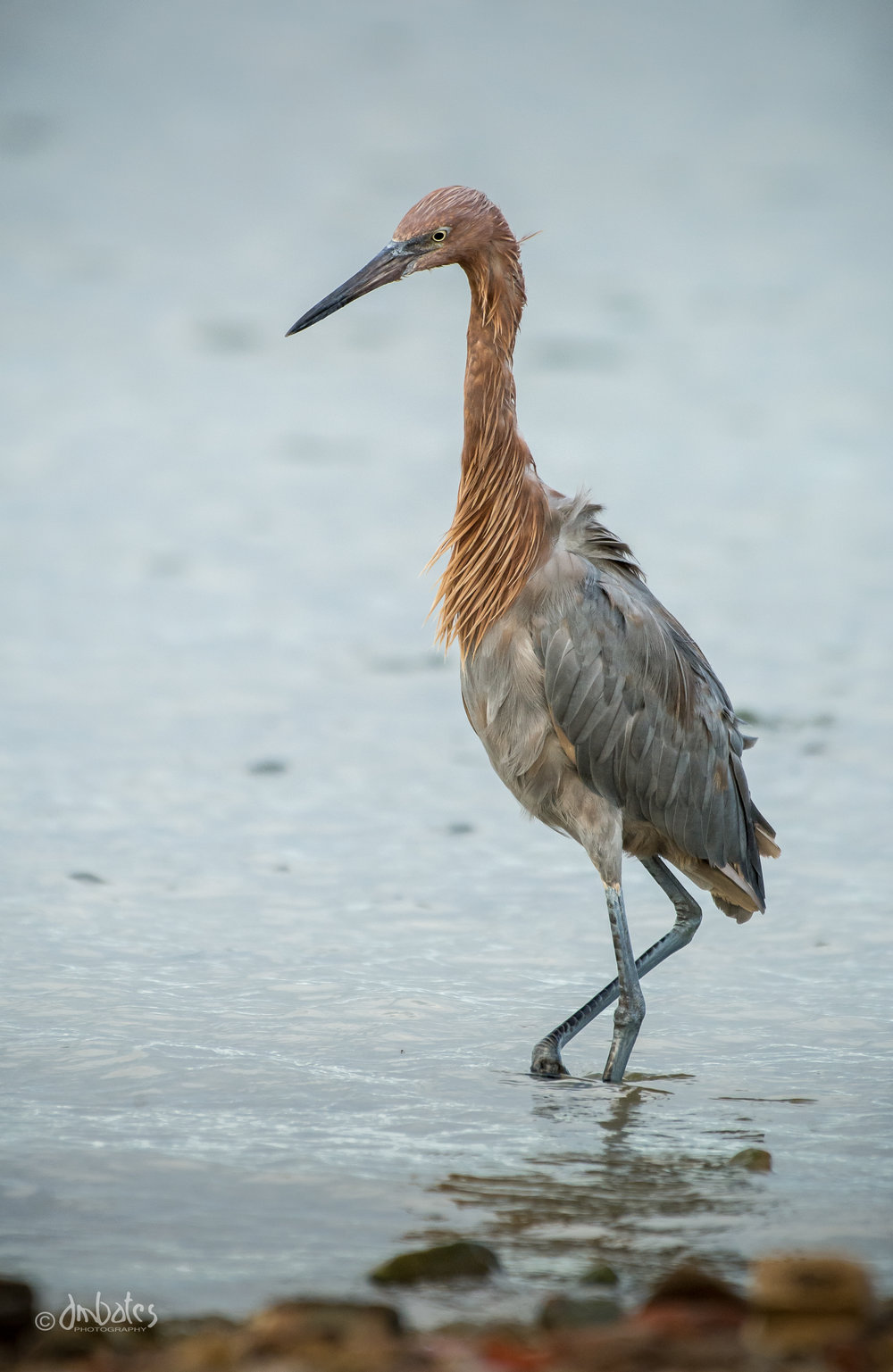 Reddish Egret, October