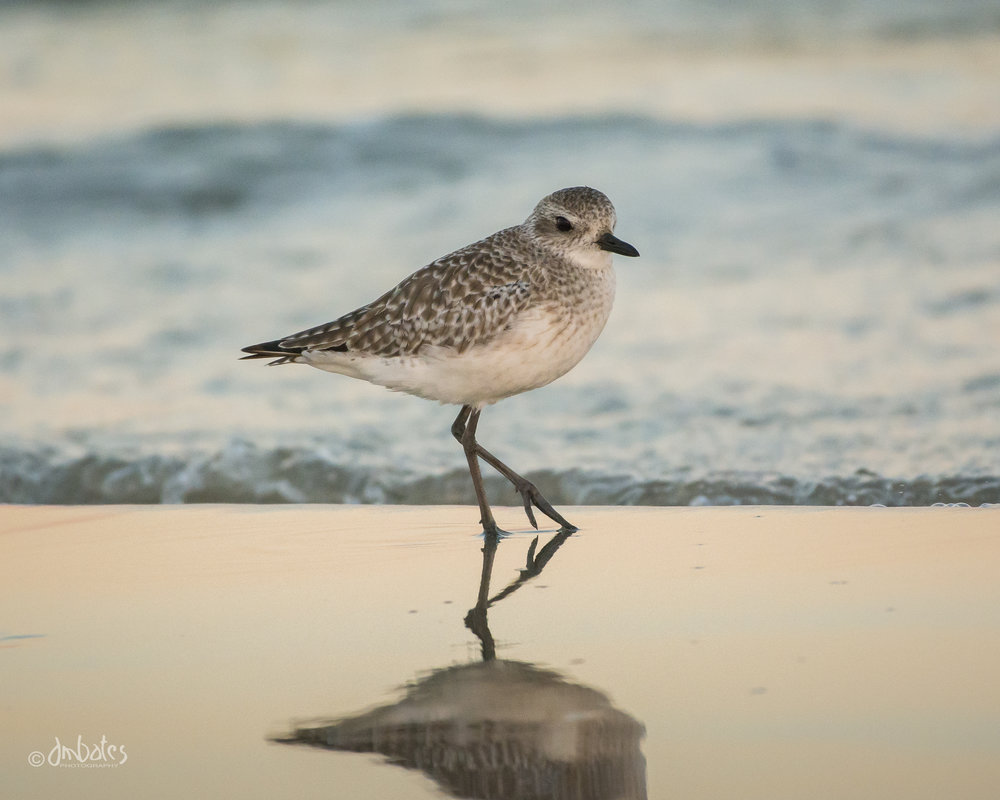 Black-bellied Plover, November