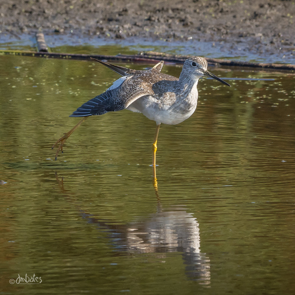 Greater Yellowlegs, November